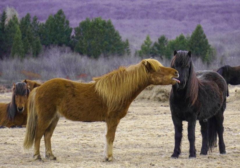 Icelandic Horsesx2 (1 of 1)