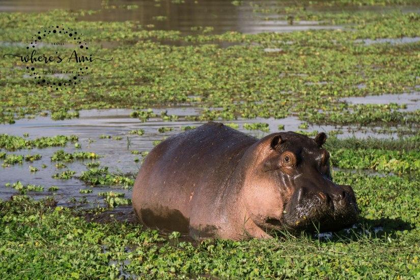 hippo (1 of 1)