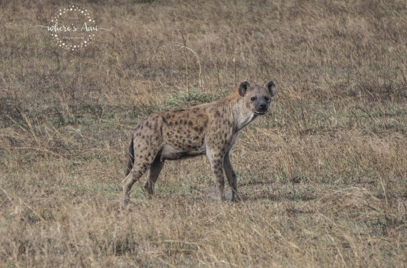 hyena (1 of 1)